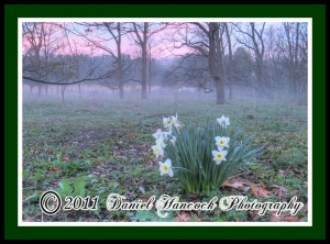 Photograph of Daffodils in the Morning